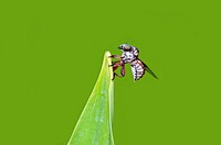 A robber fly perching on a green leaf family of Asilidae