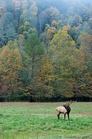 A bull elk bugles as the trees begin to change colors.