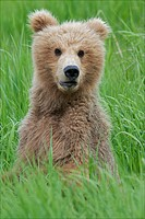 Brown bear cub looking like a teddy bear.