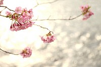 Cherry blossoms, close_up, Kanagawa Prefecture, Japan