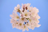 Cherry blossoms, close_up, Tokyo Prefecture, Japan