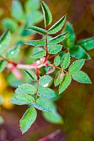 Leaves from a wild rose bush, Lake Alice, Wyoming, USA