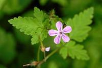 Geranium robertianum, Herb Robert, Wales