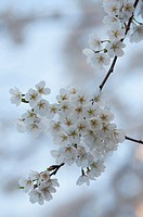 Yoshino Cherry. Blossoming Branches crossing one another