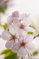 A Close_up of Three Blossoms of Japanese Cherry Tree