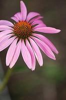 Pink Coneflower. Medicinal Plant