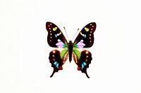 Butterfly, Graphium weiskei