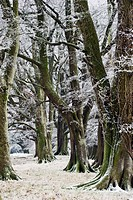 Beech trees in winter after a hoarfrost.