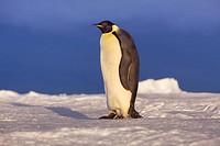 Emperor penguin aptenodytes forsteri _ Antarctica, Antarctica, Weddell Sea, Atka Bay _ Sunset