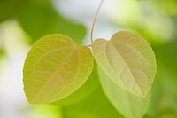 Heart_shaped leaves.