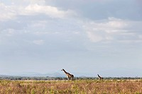 Two giraffes look out over the Tanzanian savannah.