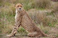 male Cheetah, Acinonyx jubatus