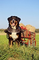 Bernese Mountain Dog pulling cart with apples