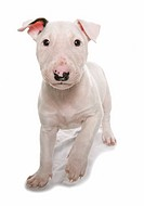 English Bull Terrier _ puppy _ cut out