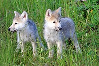 Gray Wolf,Canis lupus,Montana,USA,North America,two youngs eight weeks old