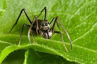 Male ant mimic spider from Kampung Skudup, Sarawak, Malaysia