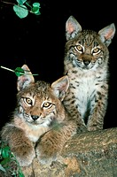 European Lynx, felis lynx, Cub standing on Branch