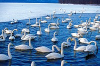 Whooper Swan, cygnus cygnus, Group of Adults on Frozen Lake, Hokkaido Island in Japan