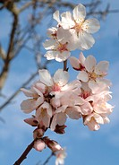 Blooming almond tree