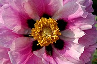 Detail of a Peony