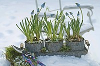 Grape Hyacinth and Snowdrops in snow