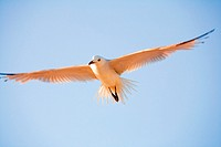 Seagull flying in the nature of the Ebro Delta, Catalonia