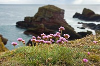 Pink Sea Thrift Armeria maritima growing close to a cliff St Abb's Head, Berwickshire, Scotland, UK