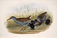 Water rail Rallus aquaticus adults and young. Illustration from ´The Birds of Great Britain, Vol. 2´ Plate 86 by John Gould 1873.