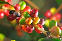 Picture of a coffee berries growing on plantation in Honduras