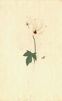 Hibiscus meraukensis flower. Drawing by Sydney Parkinson made during Captain James Cook´s first voyage 1768_1771. Held in the Botany Library at the Na...