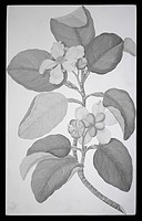Red beech tree Dillenia alata flowers. Drawing by Sydney Parkinson made during Captain James Cook´s first voyage 1768_1771. Held in the Botany Library...