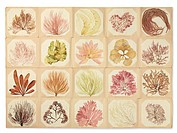 Pressed seaweed book. Page of mounted and labelled seaweed specimens that have been preserved by pressing. These specimens were collected by women liv...