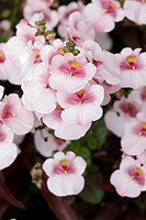 Diascia ´Juliet Pink With Eye´, summer bedding, pink, pale, pastel, flower, flowering, july, annuals, low, closeup, close_up, petals, .
