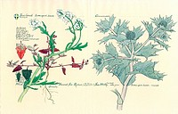 Coastal plants. Sea rocket Cakile maritima, orache Atriplex sp. and sea holly Eryngium maritimum. Illustration from ´Watercolour and pencil drawings o...