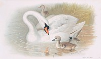 Mute swan Cygnus olor with young, artwork.