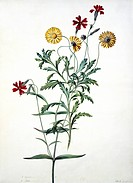 South African daisy Arctotis sp.. Watercolour by Gertrude Metz, 1777.