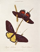 Swallowtail butterflies Papilio heliacon and Papilio idaeus. Illustration from ´Insects of India´ by Edward Donovan.