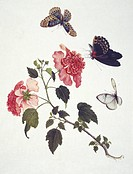 Chinese butterflies. Illustration from the John Reeves Collection of Entomological Drawings from Canton, China.