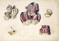 Indian barnacles. The marine organisms shown here include bell barnacles Balanus tintinnabulum and cowry shells. Watercolour by the British artist Oli...