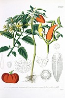 Tomato and peppers. Love_apple tomato variety of Lycopersicum esculentum, with two species of pepper Capsicum annum and Capsicum cordiforme. Botanical...