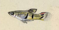 Guppy fish family Poeciliidae. This artwork dates from 1903, and is by Plantagenet Lechmere Guppy, the son of the British naturalist Robert John Lechm...