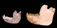 Gorilla left and Gigantopithecus right model jaws, seen from the side. The central bit of the Gigantopithecus jaw is a fossil fragment, with the rest ...