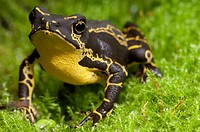 Harlequin toad Atelopus spumarius hoogmoedi on moss. This species of harlequin toad Atelopus spumarius is poisonous if eaten by predators and is found...