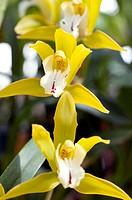 Orchid Ada aurantiaca in flower.