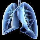 Lungs, computer artwork. Both the bronchial tree, the network of airways serving both lungs, and the overall shape of the lungs, is shown here. The tr...