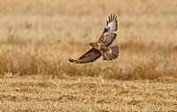 Common Buzzard Buteo buteo adult, in flight over stubble field, Northern Spain, july