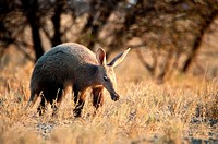 Aardvark Orycteropus afer, stalking through dry grassland, National Park Etosha, Namibia