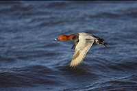 Common Pochard Aythya ferina adult male, in flight over water, Ouse Washes, Norfolk, England, winter
