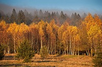 Bohemian Forest, birches, autumn colours, fog, Sumava National Park, Czech Republic