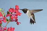 Black_chinned Hummingbird Archilochus alexandri adult male, in flight, feeding at flower, British Columbia, Canada, may